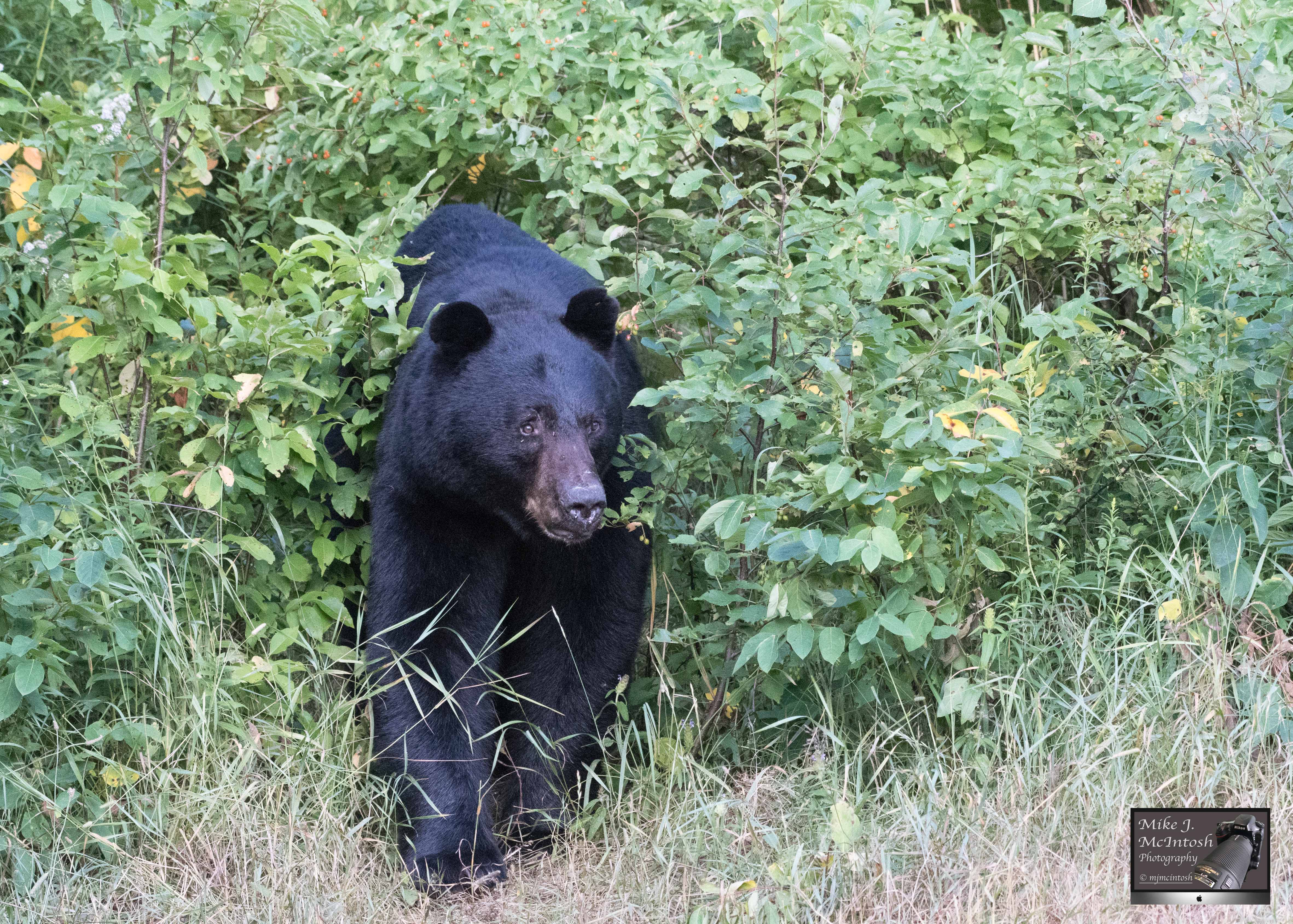bear,Blackface,July28,2019_D502467