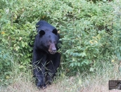 bear,Blackface,July28,2019_D502467