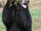 cub,Inky,holding bluberryplant,Aug.6,2019_D502910