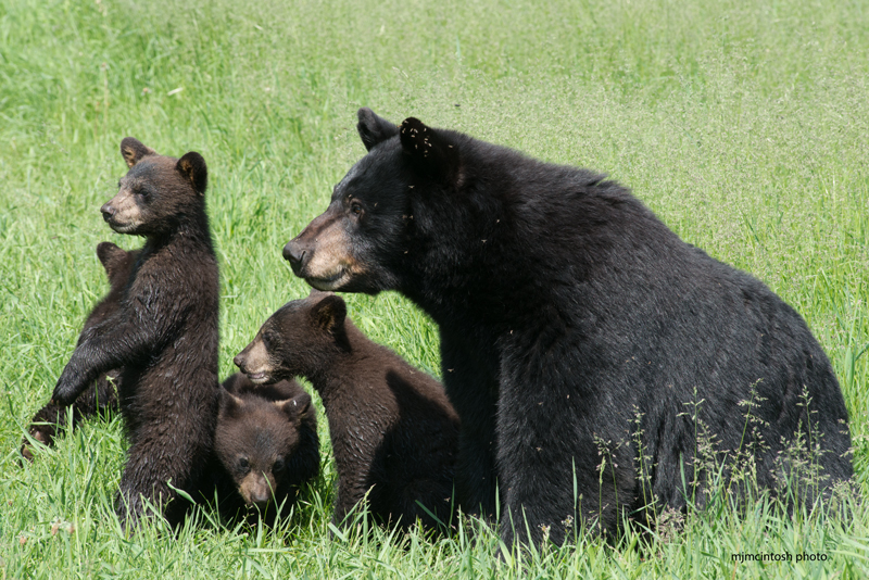 bear-momma,4-cubs,june-16-2014,web,D806027