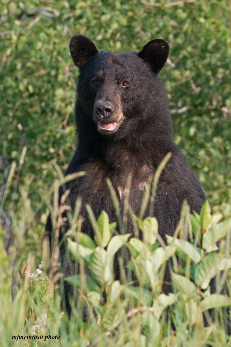 bear,black-face-July-2014,web,cropped,D809005