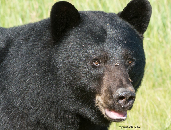 bearfecroppedjune-29121