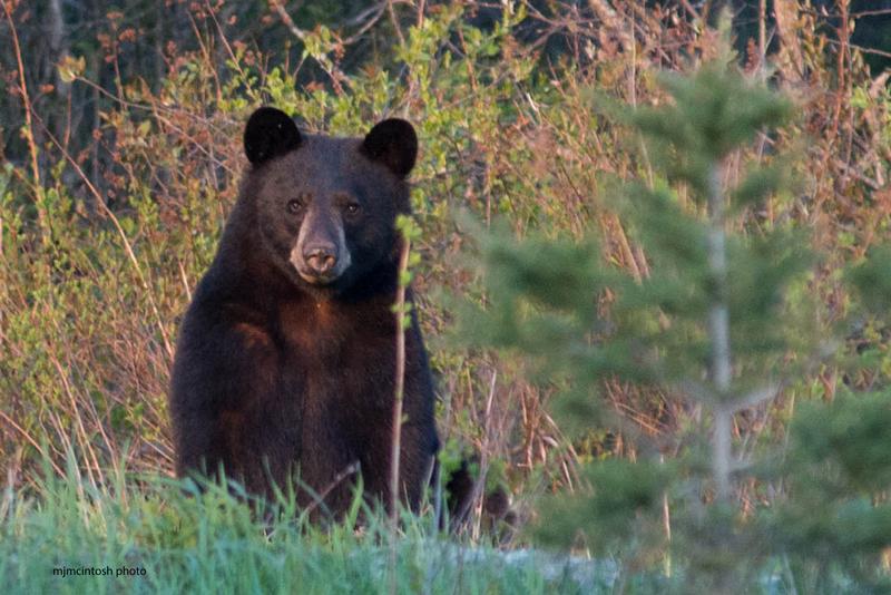 bear,young,May-18-2014,D805137