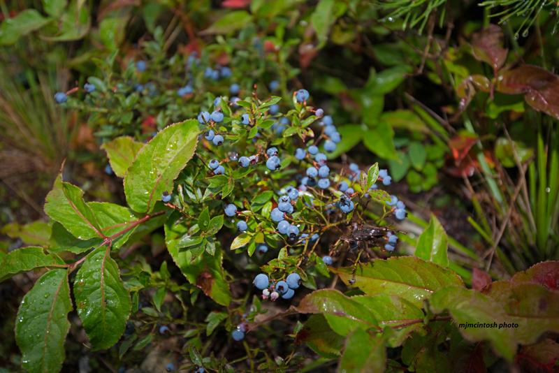 blueberriestimmins-areaaug-9-2013d80_6740