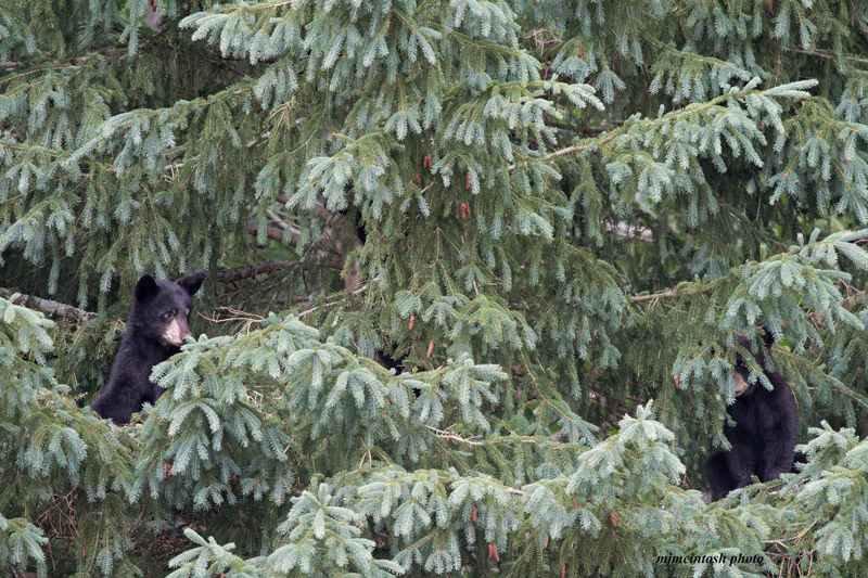 cubs-wait-in-tree,momma's-July-20-2014,web,D808523