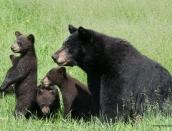 bear-momma,4-cubs,june-16-2014,web,D806027