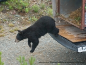 bear-rel-timminsaug-9-2013-by-miked80_6681
