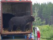 bear-rel-timminsaug-9-2013by-kristadsc0631