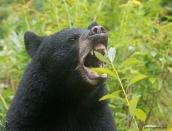 bear-victoryaug-26-2013d80_7364