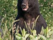 bear,black-face-July-2014,web,cropped,D809005