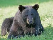 bear,momma,July-14-2014,D808248web