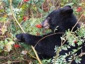 bear,mountian-ash,sept-2013,D800