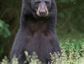 bear,young,b,June-15-2014,D805862