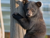 cub,Spirit,July-31-2014,web,D809328