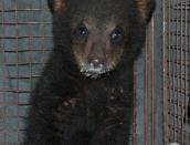 cub,new,May21,2014,D200,DSC_0010