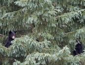 cubs-wait-in-tree,momma's-July-20-2014,web,D808523