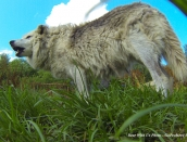 wolf,shae,aug-1-2014,web,GOPR0442
