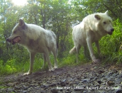 wolves,lobo,tala,aug-1-2014,web,GOPR0393