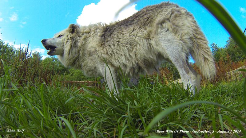 wolf,shae,aug-1-2014,web,GOPR0442