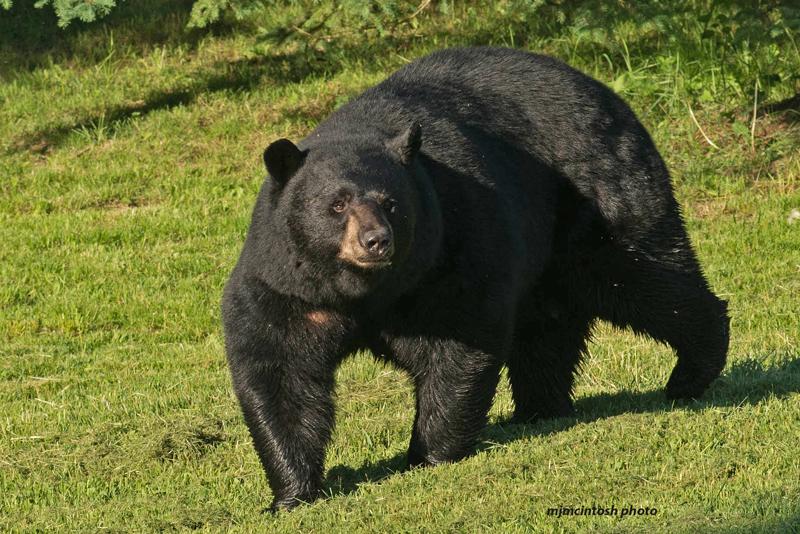 The Little Black Traveling Cat: EIGHTY - Six Raccoons & The Big Black Bear