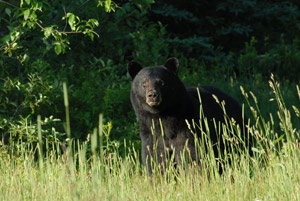 bear-in-wild