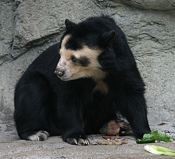 Andean bear the eight (8) bear species of the world bear with us