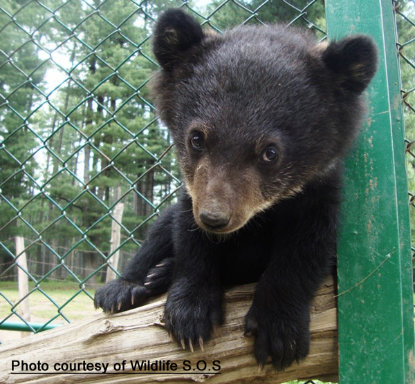 The Eight (8) Bear Species of the World | Bear With Us - photo#40