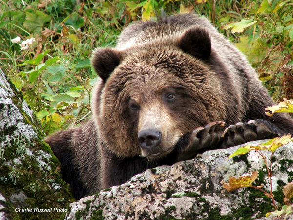 The Eight (8) Bear Species of the World | Bear With Us