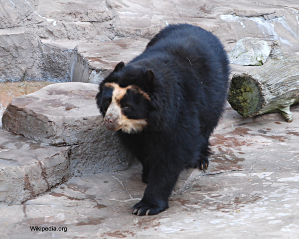 the endangerment of the spectacles bear species The brown bear (ursus arctos) is a large bear with the widest distribution of any living ursid the species is distributed across much of northern eurasia and north.