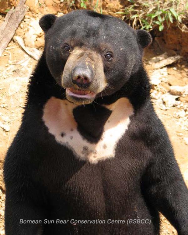 Sun Bear e BSBCC the eight (8) bear species of the world bear with us