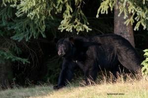 bear,male,Aug-30-2012,D80_5