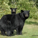 Female black bear and cub