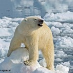 polar-bear--photographer-Ro