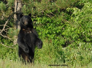bear,-big-male,-2010,D200,2