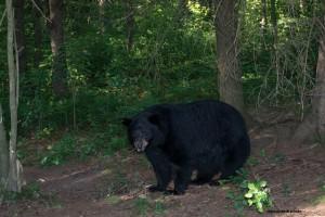 bear,momma,July-13-2013,D80_5813