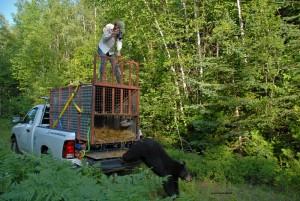 bear-release,July-29-2013,D200,DSC_0451